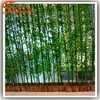 /product-gs/bamboo-palm-plants-lucky-bamboo-plants-sale-bamboo-plants-price-artificial-bamboo-plants-for-sale-60162882180.html