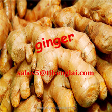 farmers market supplies 150gr+ middle fresh ginger/buyer of dry ginger with PVC BOX