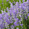 lavender oil High Quality Perfume Fragrance Oil