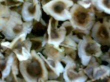 Moringa Seed, moringa oleifera seed, moringa hybrid seed pkm1