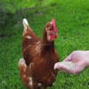 Hot Sale-Yeast Feeds 50% (For Chicken)