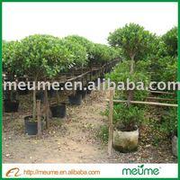 Outdoor Ficus Panda Evergreen Bonsai Tree