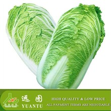 2015 New crop Chinese cabbage in Shandong