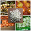 shandong iqf onion for sale