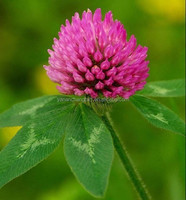 ISO BV certificated factory supply top quality Red Clover extract CAS 977150-97-2