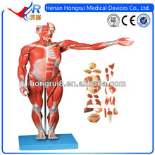 ISO Male Muscles Internal Organ,human muscle anatomy model