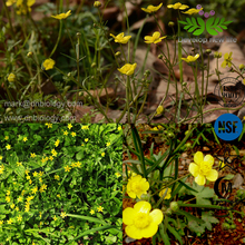 Ranunculus ternatus Thunb. Cat's Claw Buttercup root Extract Powder Raw Materials Alkaloids>3%