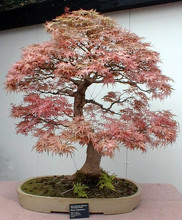 Pink Maple Indoor Mini Bonsai Tree Natural