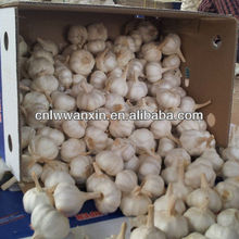 garlic approved by global gap