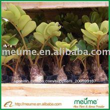 Zamia furfuracea ( interior mini plantas ornamentales )
