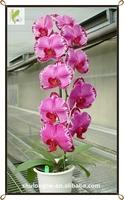 Vibrant Red Harlequin Phalaenopsis Orchid Tissue Culture Seedlings Taiwan Orchid Nursery Red Phalaenopsis Flask