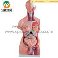 Human Anatomical male/female torso model with organ