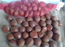 Castaña fresca / frutos secos castañas / envasados castañas /