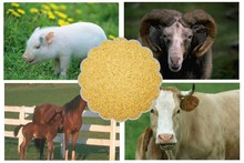 feed yeast 60% , strong attractant to Cattle,Chicken,Dog,Fish,Horse,Pig(feed yeast )