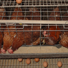 Professional manufacturers chicken egg laying hens for chicken