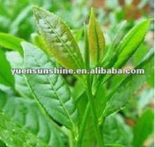 Natural Green Tea Extract /Tea Polyphenol, Catechin, EGCG