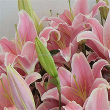 high quality fresh cut flower lily with competitive price