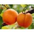 La nourriture en conserve, conserves de fruits et légumes, abricots en conserve dans un sirop léger