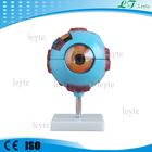Xc-316 olho humano modelo para venda
