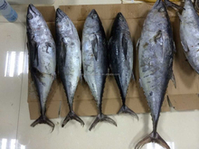 Frozen whole round yellow fin tuna all size available