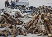 Real racccon Fur fabric Raw Skin animal Fur skin for sale