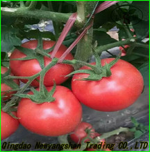 China tomato top quality competitive price/fresh tomato