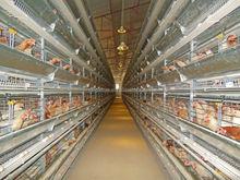 chicken breeding cage