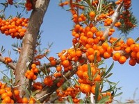 hot sale plant extract sea buckthorn extract power/holy thorn extract