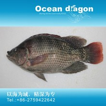 China origin frozen tilapia fish whole round