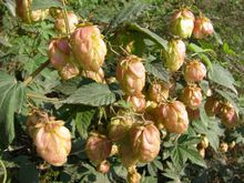 Hops Flower Extract free sample hops extract powder/hops p.e./hops flower extract