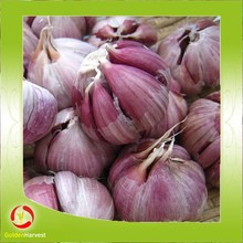 export Chinese New crops fresh red garlic 4.5cm-6.0cm
