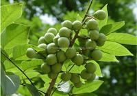 Touchhealthy supply Psoralea Corylifolia Extract , 100% Natural Polygala Tenuifolia P.E.