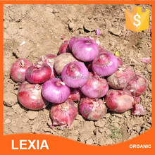 Organic vegetable red onions