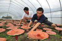 GMP factory supply Best selling Reishi Mushroom P.E.
