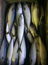 Hot sale Frozen Pacific mackerel fish on sale frozen mackerel price,frozen jack mackerel