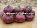 EN 02 Diqiu mediados-finales de sol semillas de cebolla roja precio