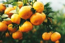 citrus fruit/mandarin orange/Lugan orange