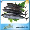 Hot Selling 18 months Shelf Life Fresh Whole Round Bonito Fish