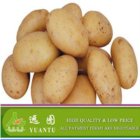 Fresh Holland Potato With Hot Sale Specification