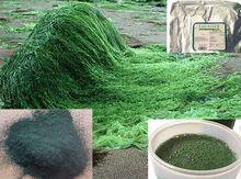 Spirulina dried powder