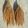 Latest crop for bird feed red millet spray with High Quality For Millet Spray