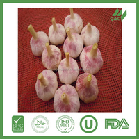Fresh garlic in bulk for sale