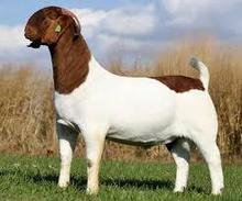 Vet Checked Live Boer Goats for sale