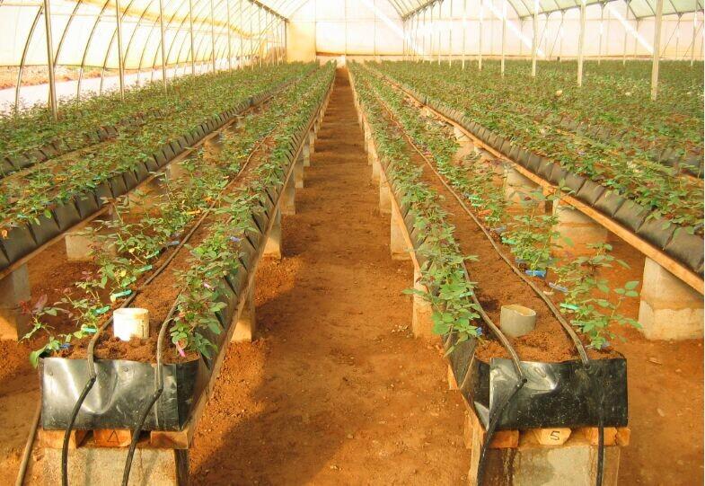 Освещение теплицы для выращивания роз 56