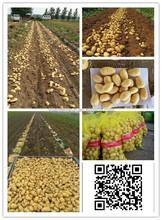 2015 100g up fresh potato