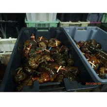 Live Canadian Lobster , Live freshwater Eel