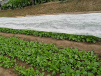 [FACTORY]PP nonwoven winter protection fleece/garden frost protection sheet/anti weed mat