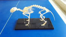 SE62153 Cat Skeleton Model
