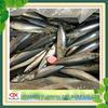 new fresh frozen whole round Pacific mackerel