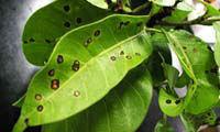 Fungicide 98%, 50% Carbendazim